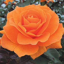 Vavoom™ Floribunda Rose