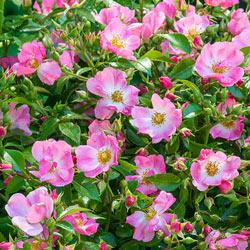 Forever & Ever® Pink Rose