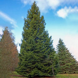Norway Spruce Hedge