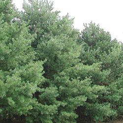 Easter White Pine Hedge