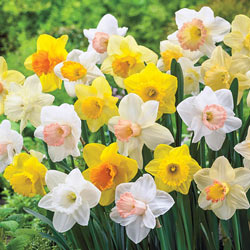 Giant Trumpet Daffodils for Naturalizing