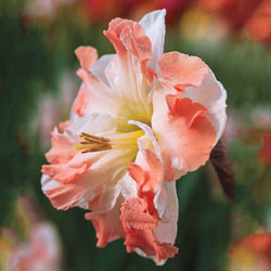 Pink Butterfly Daffodil