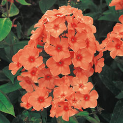Orange Perfection Tall Phlox