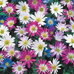 Mixed Windflowers
