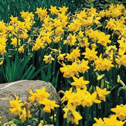 Yellow Naturalizing Daffodils