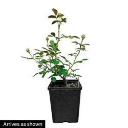 Oh My!® Floribunda Rose