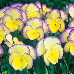 Everblooming Picotee Violet