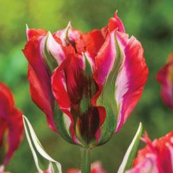 Esperanto Tulip