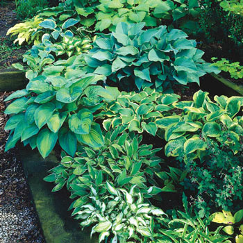 Hosta Mix Super Bag Michigan Bulb