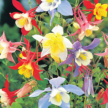 Mixed Columbine Michigan Bulb