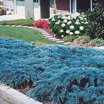 Blue Rug Juniper - Ground Cover   Buy