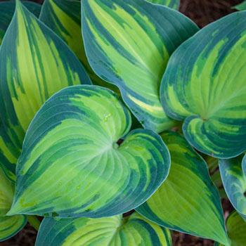 June Hosta Shop Shade Perennials Michigan Bulb