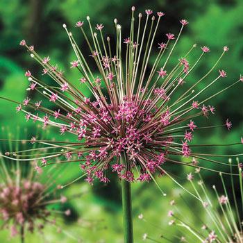 Schuberti Allium Flower Bulbs Michigan Bulb Company