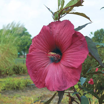 Big Red Hardy Hibiscus Michigan Bulb Company