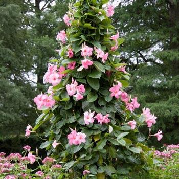 Mandevilla Alice Du Pont Lot of 2 ~ Starter Plants~