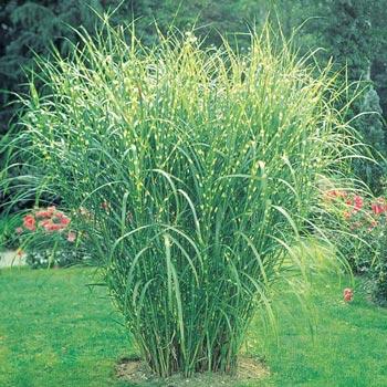Zebra Grass Ornamental Grass Michigan Bulb Company