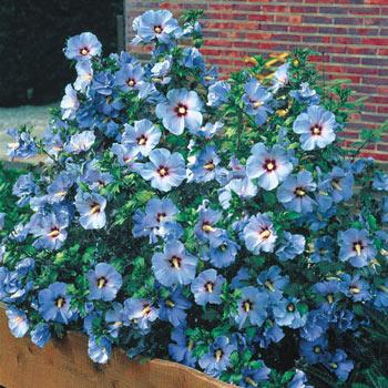 Blue Bird Rose Of Sharon 65985 Michigan Bulb