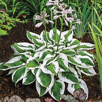 Hostas For Sale >> Patriot Hosta Plants For Shade Michigan Bulb Company