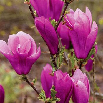 Magnolia Jane Michigan Bulb