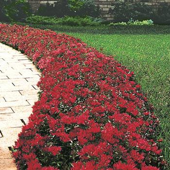 Red Creeping Sedum Shop Ground Cover Michigan Bulb