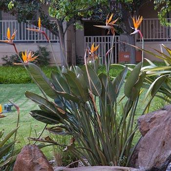 Orange Bird of Paradise -Tropical Houseplant   Michigan Bulb