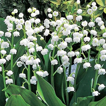 Lily Of The Valley Michigan Bulb Company