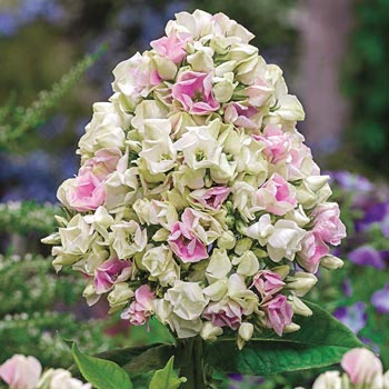 Sun Perennials Creme De La Creme Phlox From Michigan Bulb