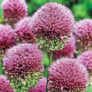 Drumstick Allium Allium Bulbs