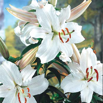 Snow princess stargazer lily michigan bulb snow princess stargazer lily mightylinksfo