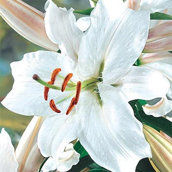 Snow princess stargazer lily michigan bulb mightylinksfo