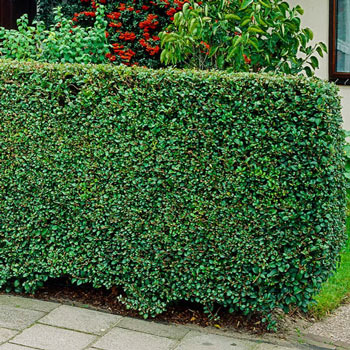 Mature privet hedge plants