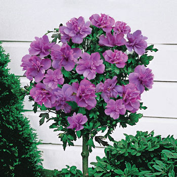 Ardens Hardy Hibiscus Standard Tree Michigan Bulb Co