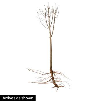 Ardens Hardy Hibiscus Standard Tree