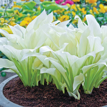 Filigree Hosta White Feather Hosta Michigan Bulb