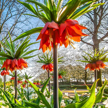 25 Orange Red Imperial Crown Seeds Fritillaria imperialis Action #03
