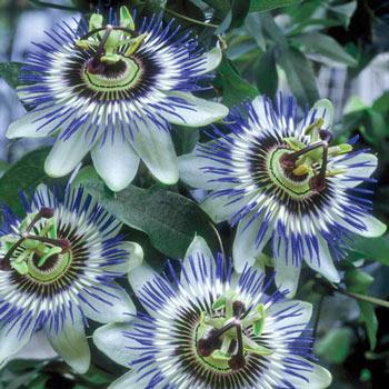 Blue Passion Flower Michigan Bulb