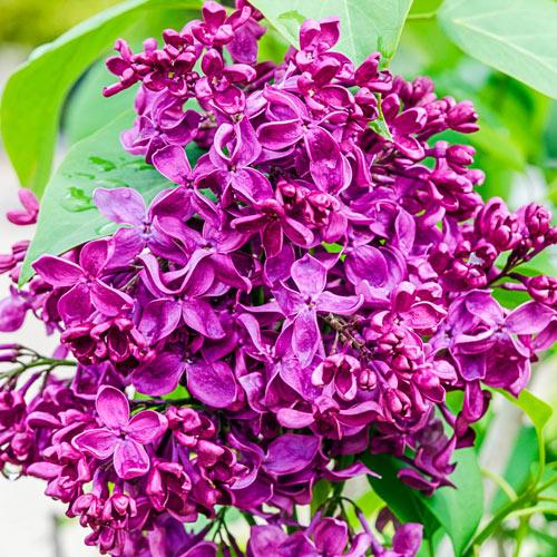 Deep Purple French Hybrid Lilac