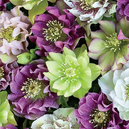 Double-Flowered Hellebores