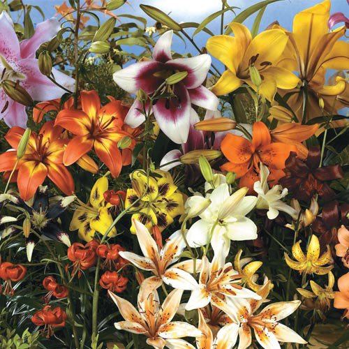 All Summer Lily Garden