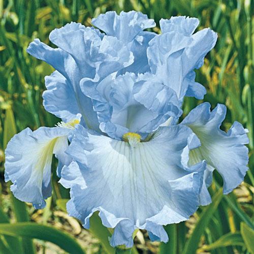 Absolute Treasure German Iris