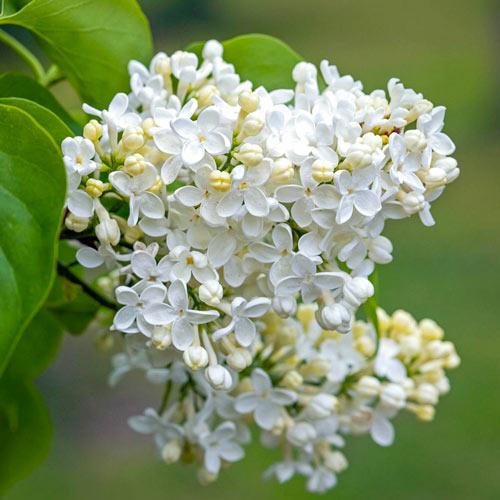 Primrose Lilac