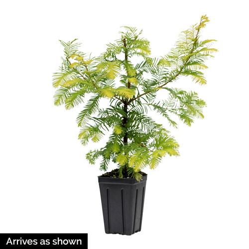 Amber Glow Metasequoia