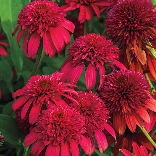 Cranberry Double Coneflower