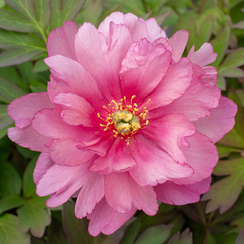 Double Pink Dandy Itoh Peony