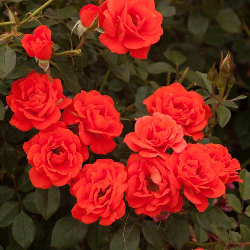 All a'twitter ™ Miniature Rose