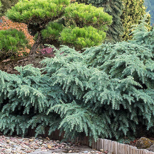 Prostrate Beauty Cedar