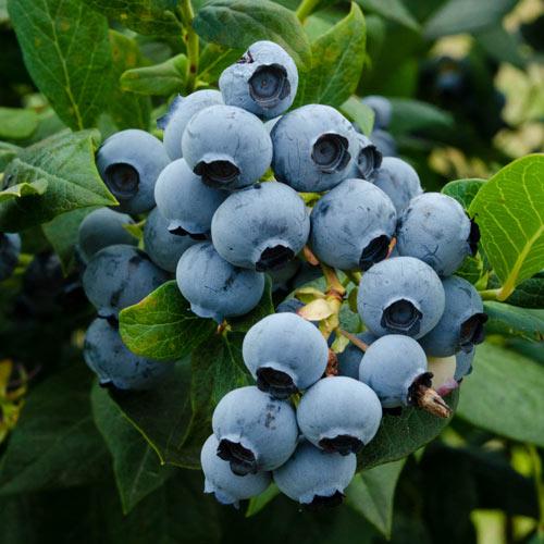 Duke Blueberry Hedge