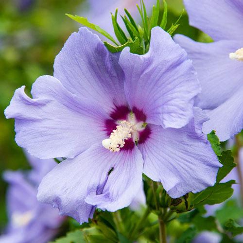 Hawaii<sup>™</sup> Hibiscus