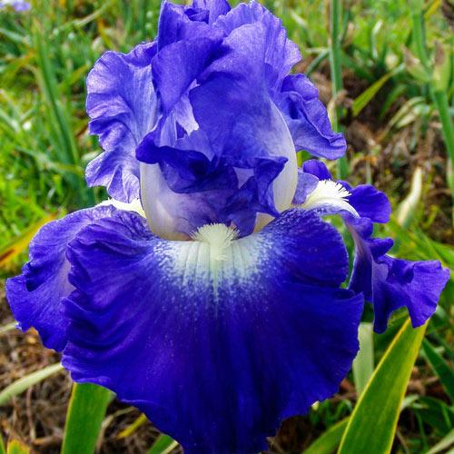 City Lights Reblooming Bearded Iris