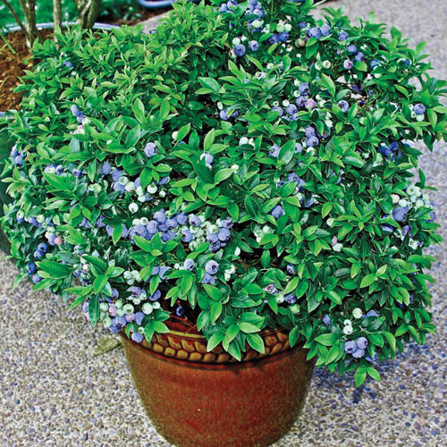 Patio Blueberry Bush